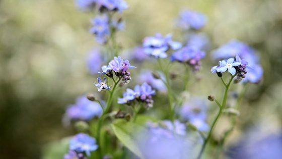 Vergissmeinnicht, blaue Wiesenblume